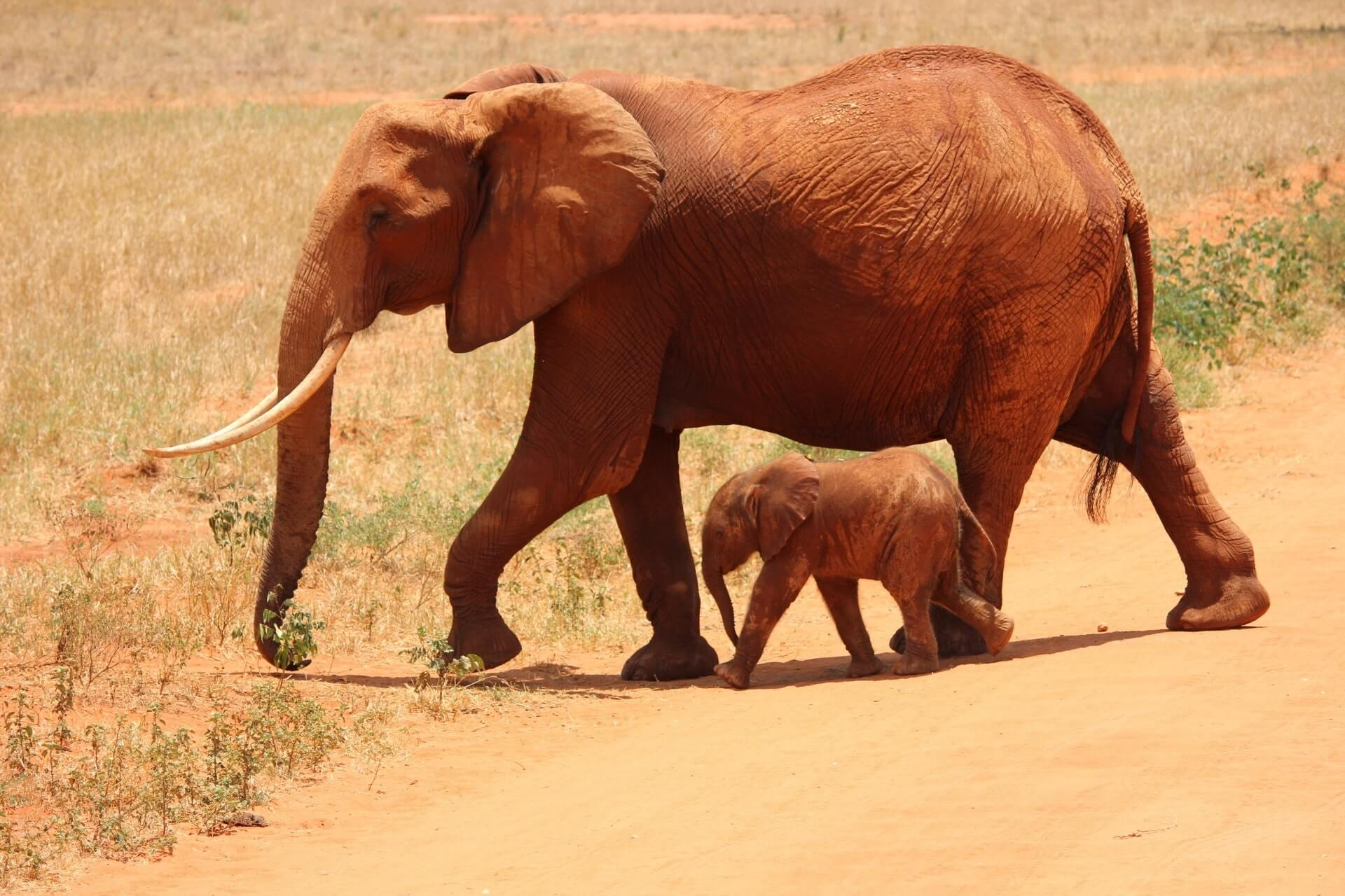 Sloniha i slonenok
